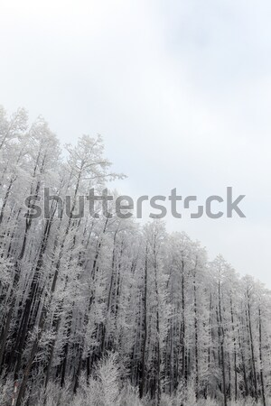 Fák tél fedett hó növekvő téli idény Stock fotó © avq