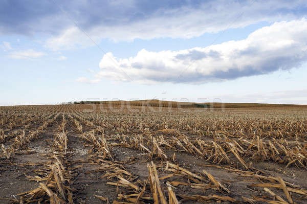 mature corn crop Stock photo © avq