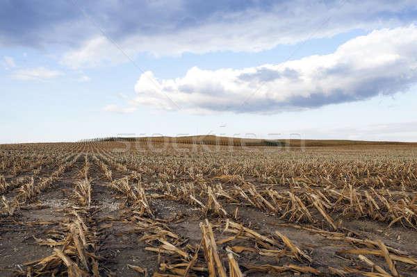 érett kukorica termény mezőgazdasági mező termés Stock fotó © avq