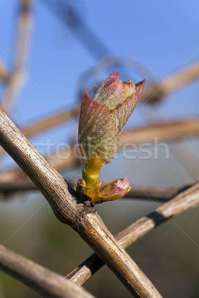ブドウ 芽 最初 葉 成長した 春 ストックフォト © avq