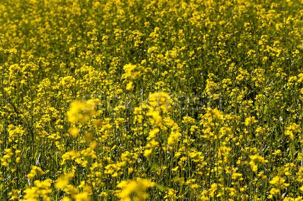 Flores violación agrícola campo flores primer plano Foto stock © avq