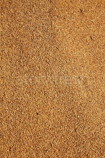 wheat grains   Stock photo © avq