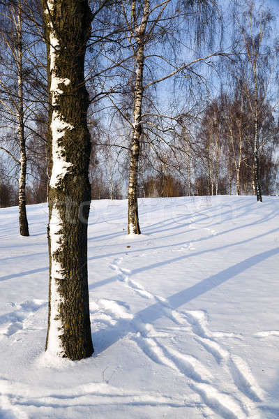 birch grove in winter  Stock photo © avq