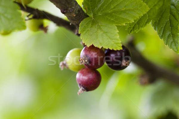 Groselha preto verde arbusto folha Foto stock © avq