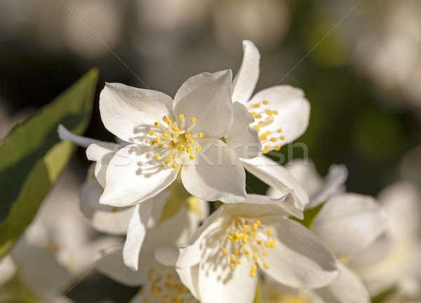 Virág virágok fehér közelkép kicsi fa Stock fotó © avq