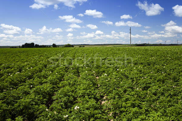 potato field , Belarus Stock photo © avq
