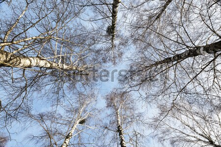 Birch tree in winter Stock photo © avq