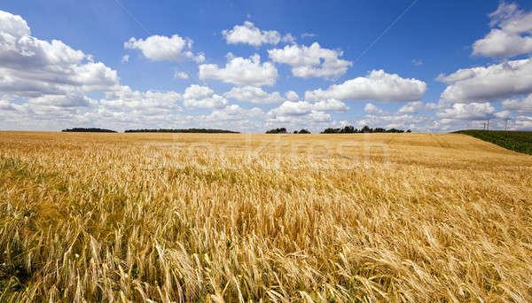 сельскохозяйственный области расти вверх пшеницы Сток-фото © avq