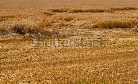 field with straw   Stock photo © avq