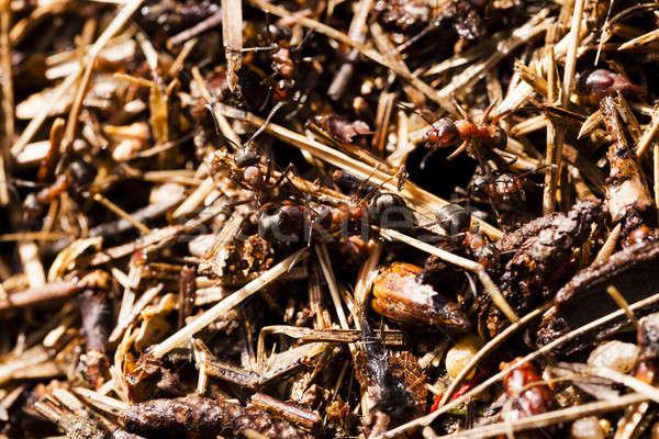 Formiga colina formigas pequeno madeira Foto stock © avq