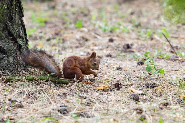 Sincap kırmızı ağaç yaz park hayvan Stok fotoğraf © avq