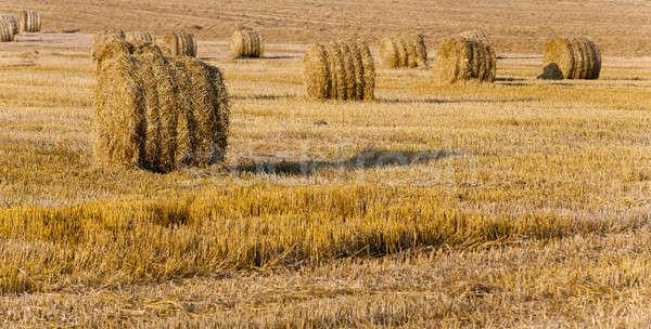 Stro tarwe oogst veld plant Stockfoto © avq