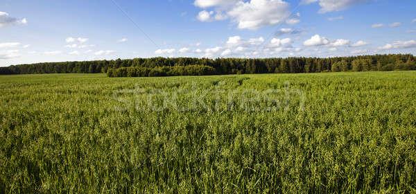 green oats   Stock photo © avq