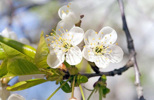 apple-tree flowers   Stock photo © avq