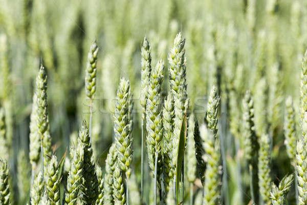 Rolniczy dziedzinie pszenicy niedojrzały zielone Zdjęcia stock © avq