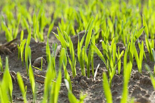 Fiatal búza közelkép fókusz fotó központ Stock fotó © avq