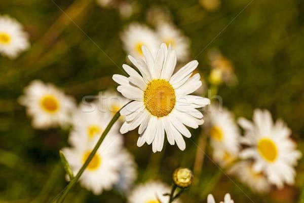 Сток-фото: цветы · белый · семьи · трава · природы
