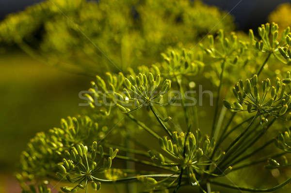 Verde finocchio piccolo fiore natura Foto d'archivio © avq