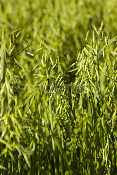 ear in a field of oats   Stock photo © avq