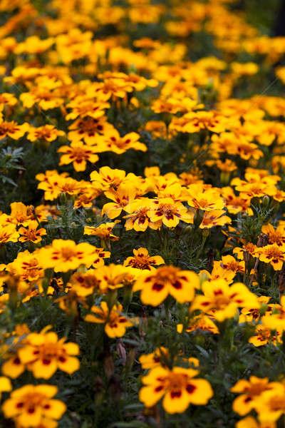 flowers   Stock photo © avq
