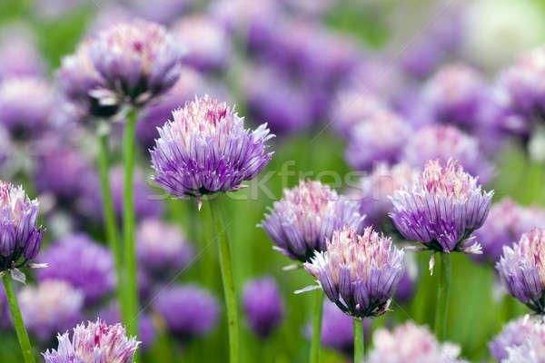 Сток-фото: чеснока · цветок · весны · природы · саду