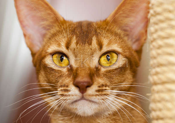 Abyssinian cat   Stock photo © avq