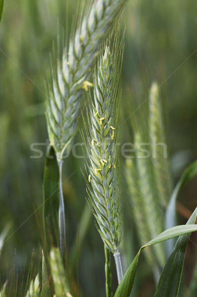 agricultural field wheat Stock photo © avq