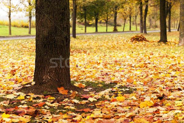 trees in the fall  Stock photo © avq