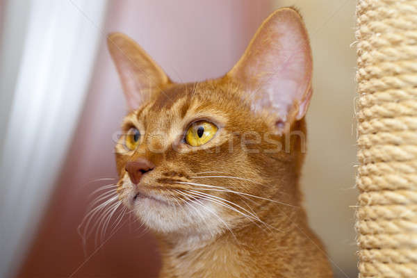 Abyssinian cat   Stock photo © avq