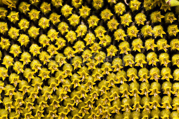 sunflower   Stock photo © avq