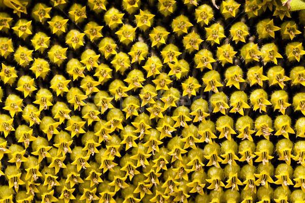 Stok fotoğraf: Ayçiçeği · çiçek · küçük · çiçekler · doğa