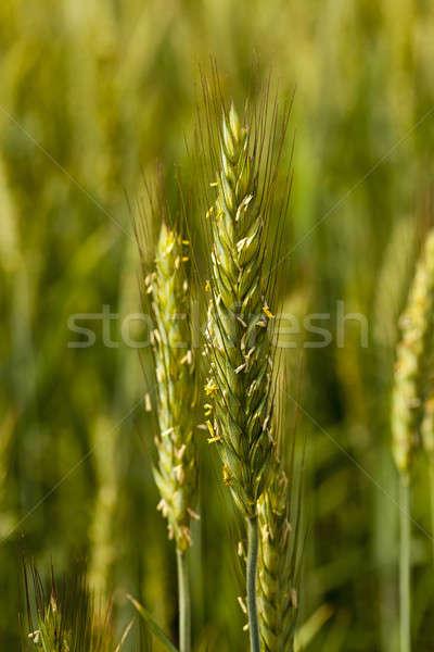 Tahıl kulak tahıl bahar alan Stok fotoğraf © avq
