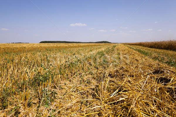 érett gabonafélék mező mezőgazdasági érett aratás Stock fotó © avq