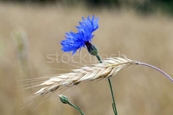 cornflower  Stock photo © avq