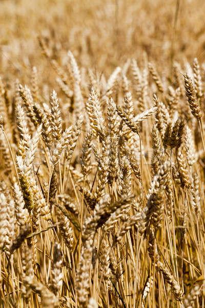 злаки ушки лет пшеницы кукурузы Сток-фото © avq