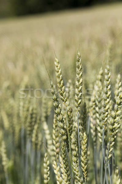 Yeşil çavdar kulaklar gıda doğa Stok fotoğraf © avq