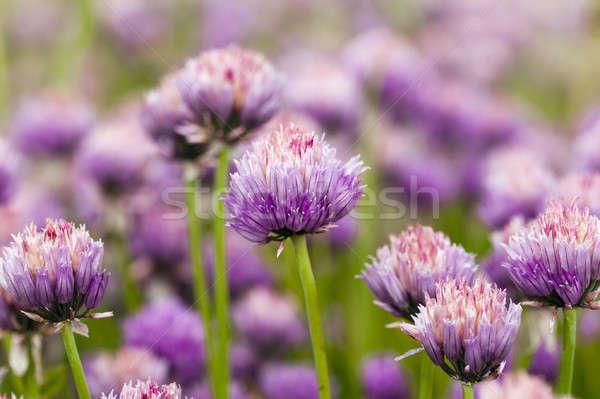 Sarımsak çiçek doğa bahçe yaz Stok fotoğraf © avq