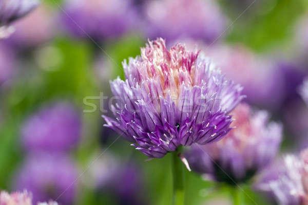 Sarımsak çiçek bahar doğa bahçe Stok fotoğraf © avq