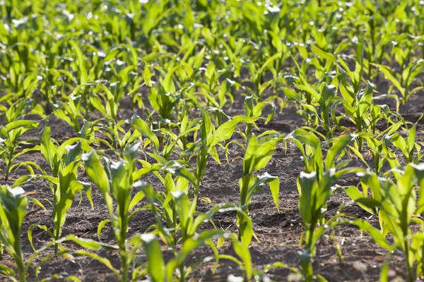 ストックフォト: フィールド · トウモロコシ · 農業の · 成長 · 小さな · 緑