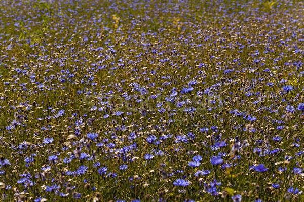 Dziedzinie niebieski rosną summertime rok kwiat Zdjęcia stock © avq