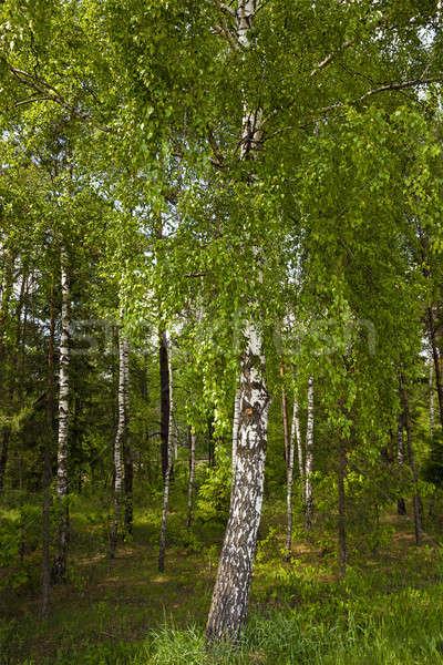Küçük huş ağacı yaz ağaç çim Stok fotoğraf © avq
