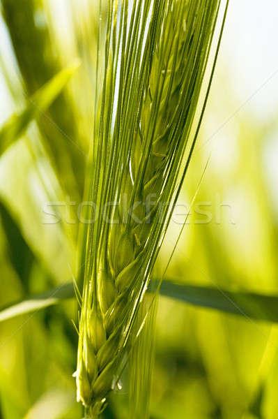 Gabonafélék fül gabonapehely közelkép tavasz mező Stock fotó © avq