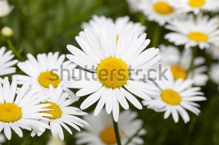 カモミール 花 白 色 花 ストックフォト © avq