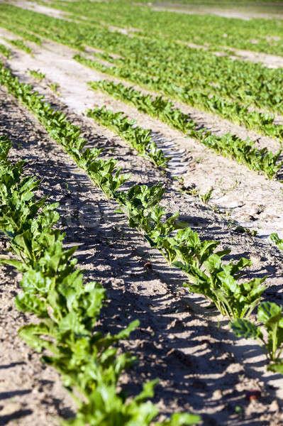 Pancar bahar tarım alan büyümek bahçe Stok fotoğraf © avq
