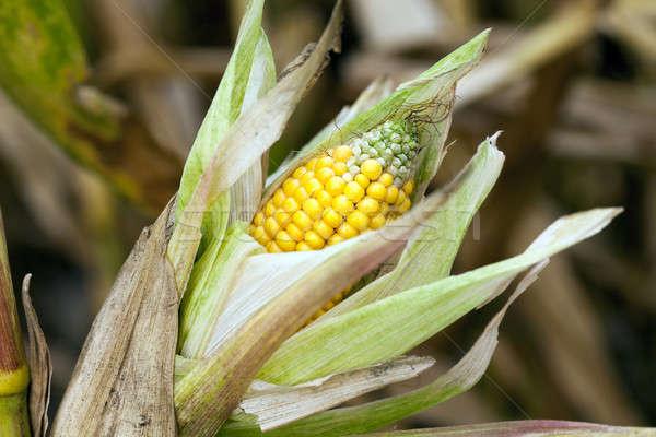 Dojrzały kukurydza wole rolniczy dziedzinie Zdjęcia stock © avq