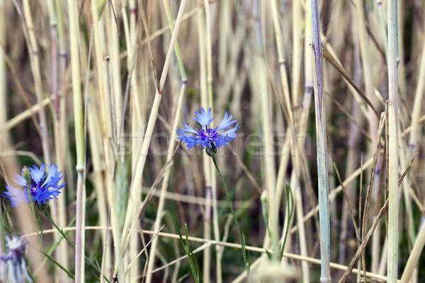 Chaber niebieski rozwój rolniczy dziedzinie pszenicy Zdjęcia stock © avq