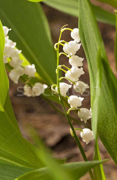Lilia dolinie pierwszy kwiaty rozwój lesie Zdjęcia stock © avq