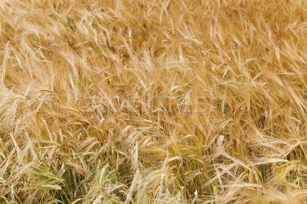 Tahıl kulaklar yaz çiftlik buğday Stok fotoğraf © avq