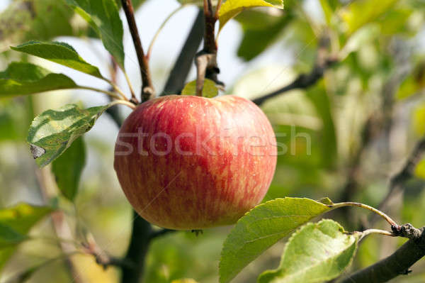 Apple on a branch Stock photo © avq