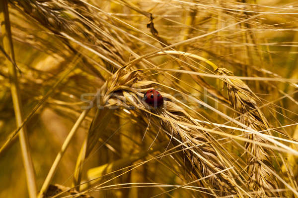 Joaninha pequeno maduro ouvido trigo primavera Foto stock © avq